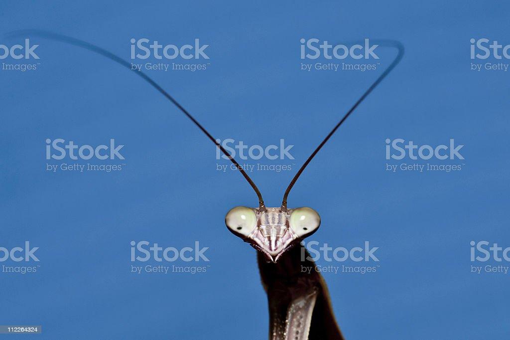 praying mantis royalty-free stock photo