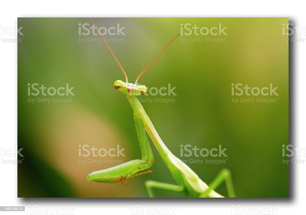 Praying Mantis stock photo