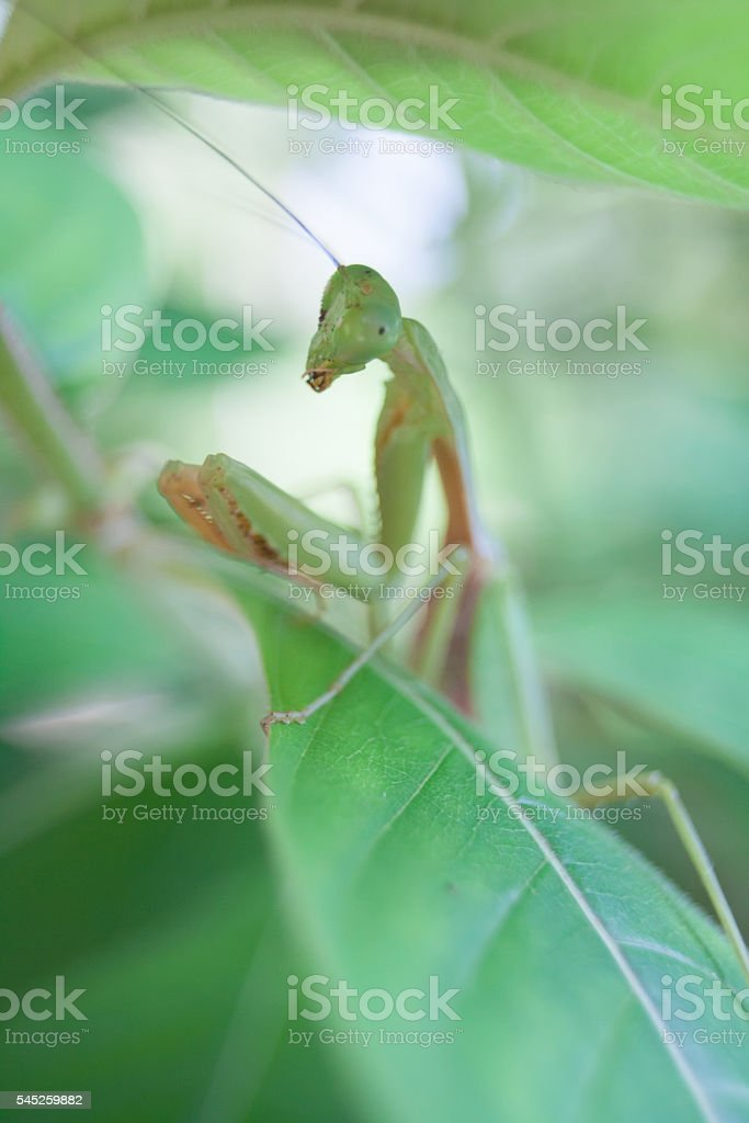 Mantis religiosa stock photo