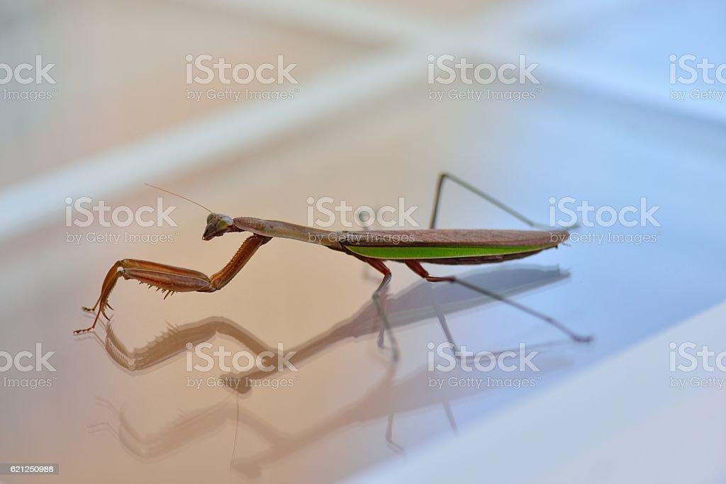 Praying Mantis Profile stock photo