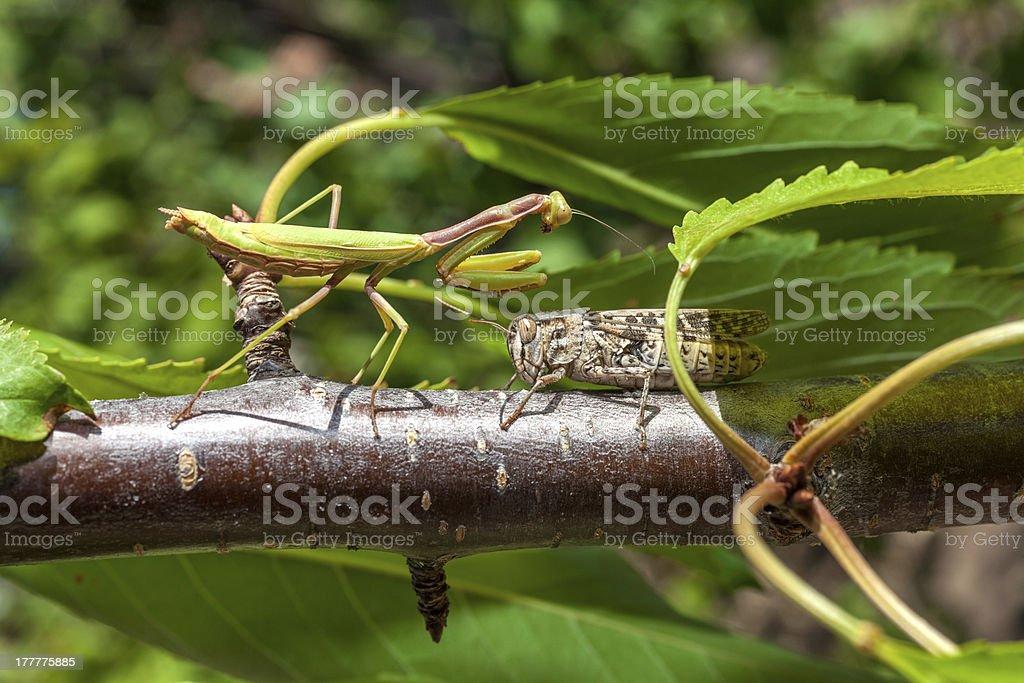 Praying Mantis vs Grasshopper royalty-free stock photo