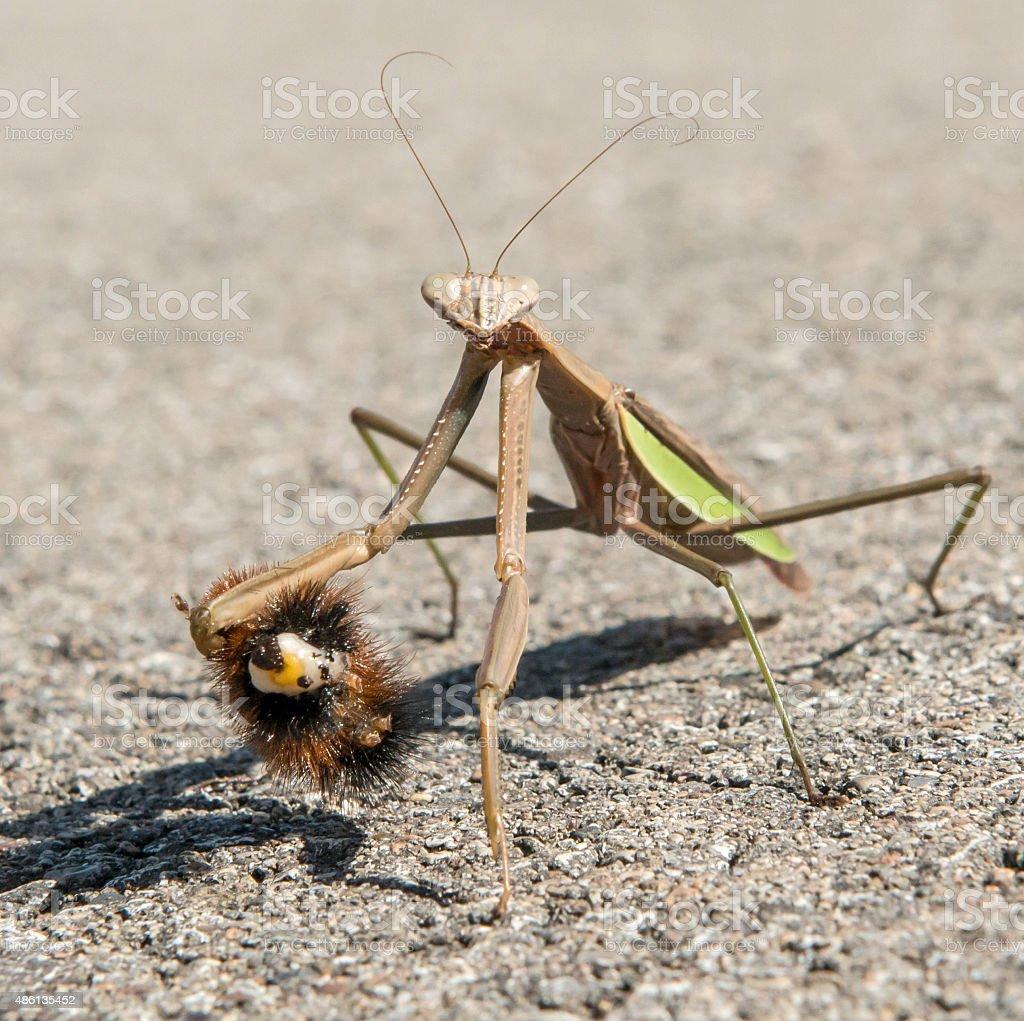 Praying Mantis with caterpillar stock photo