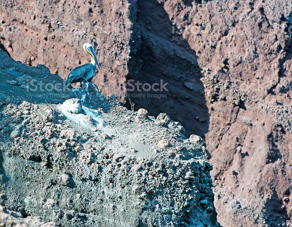 Precarious nest, Brown peican, Galapagos Islands stock photo