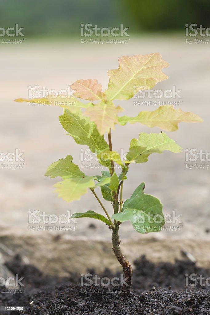 Precious Oak Sapling royalty-free stock photo