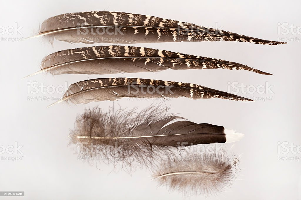 Predator killed common sage grouse bird feather collection Colorado stock photo
