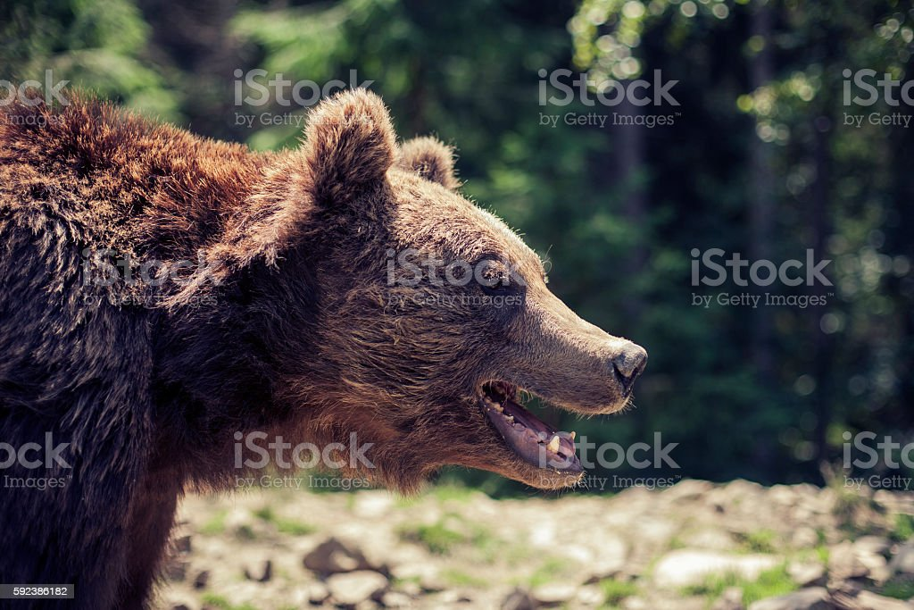 Predatory brown grizzly bear in the wild world stock photo