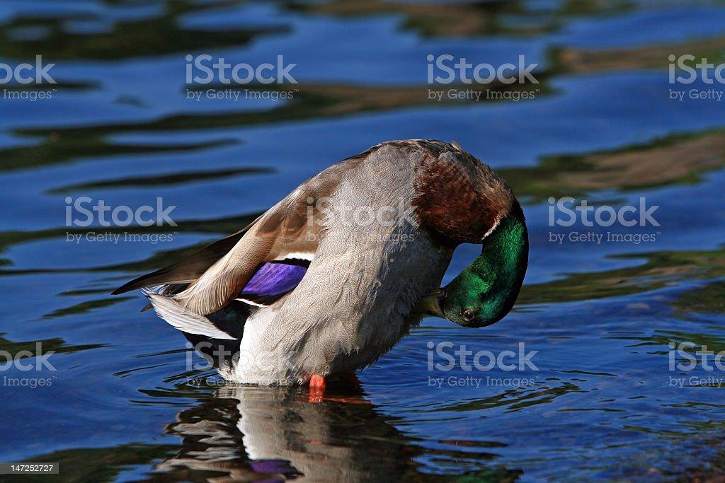 Preening Duck stock photo