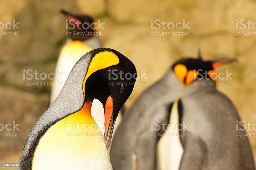 Preening King Penguin stock photo