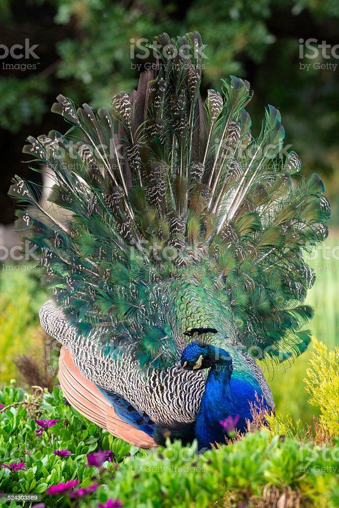 Preening Peacock in a Garden stock photo