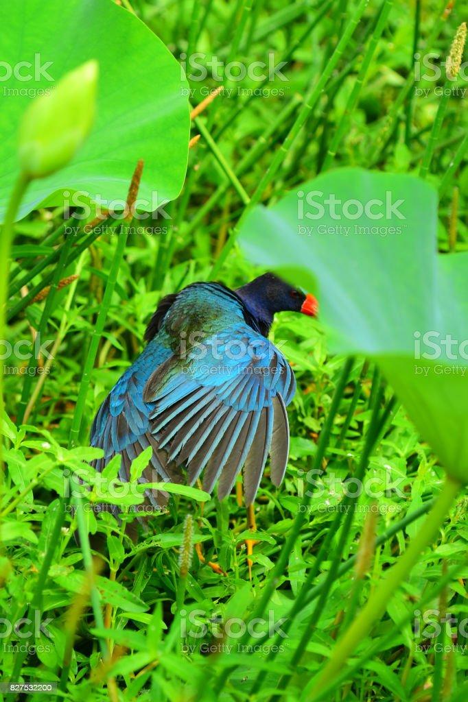 Preening Purple Gallinule spreads its wing feathers stock photo