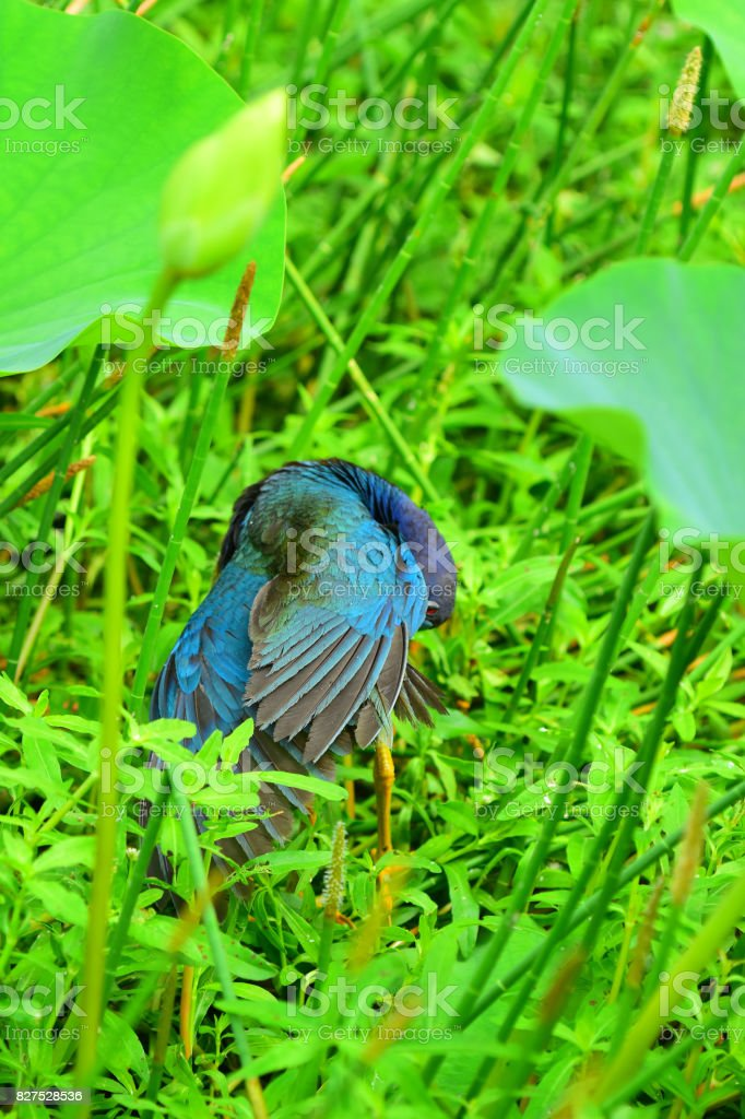 Preening Purple Gallinule with feathers fanned out stock photo