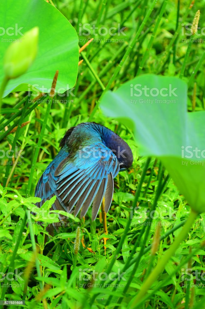 Preening Purple Gallinule with head tucked down and wing feathers fanned out stock photo