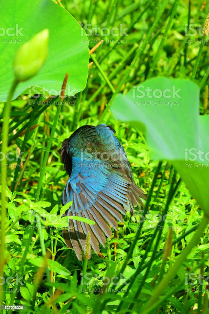 Preening Purple Gallinule with wing feathers fanned out stock photo
