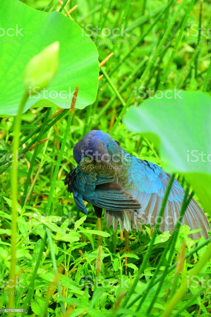 Preening Purple Gallinule with wing stretched out stock photo