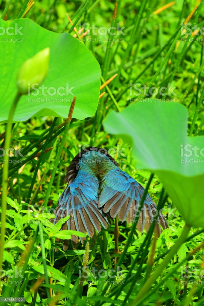 Preening Purple Gallinule with wings back and head tucked down stock photo