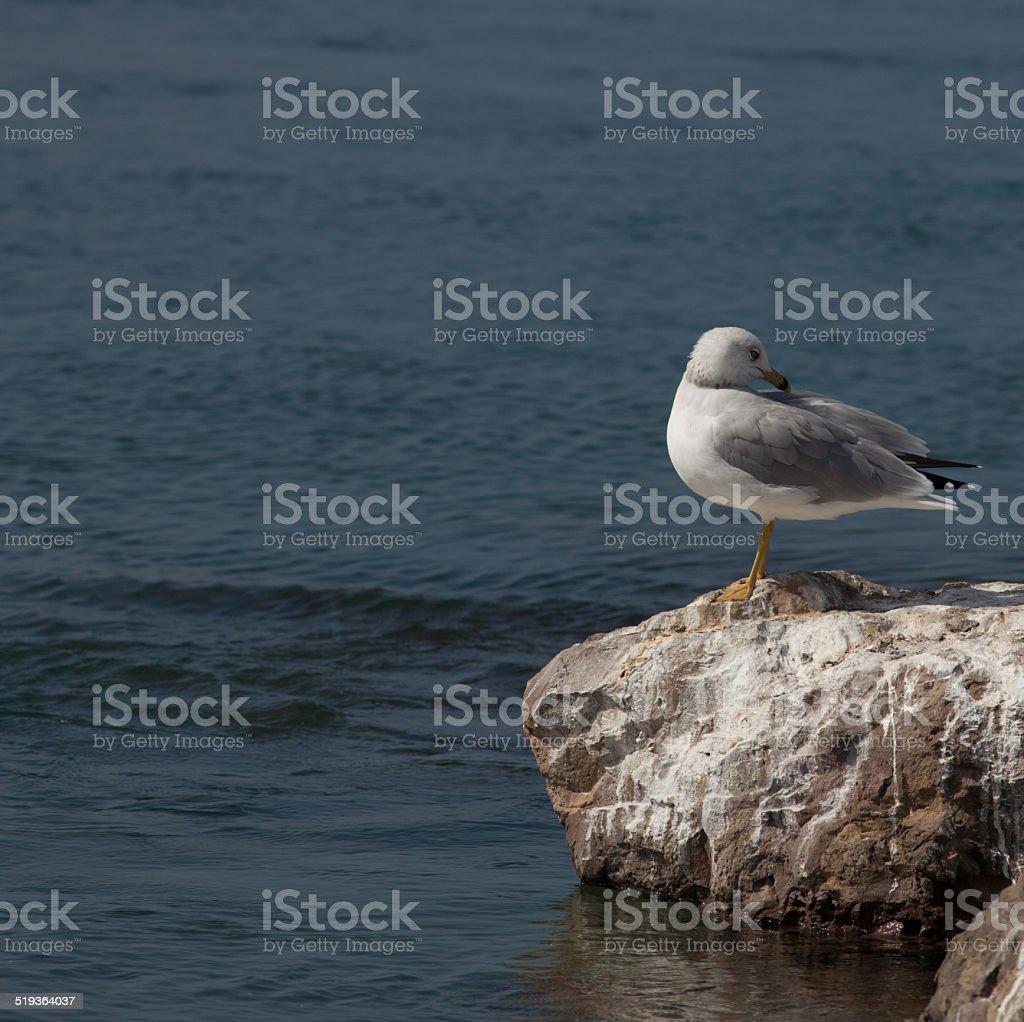 Preening Sea Gull stock photo