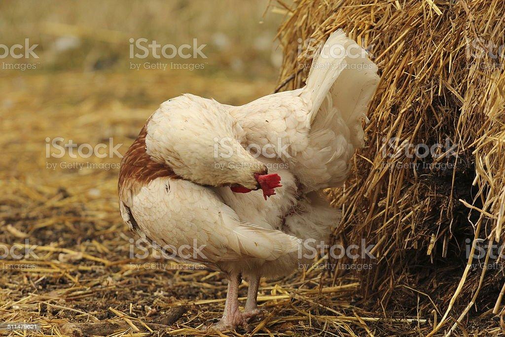 Preening white hen stock photo