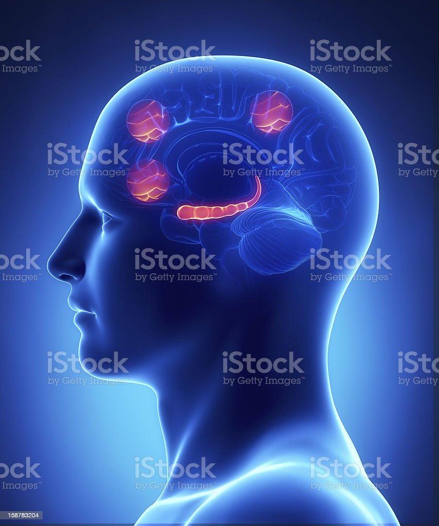 Prefrontal cortex and  occipitale intra-parietal sulcus stock photo