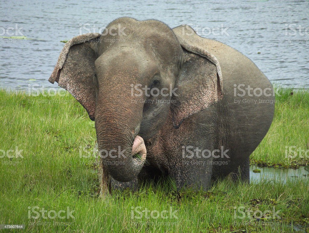 Pregnant Asian Elephant feeding on Grasses in Tropical Lake stock photo
