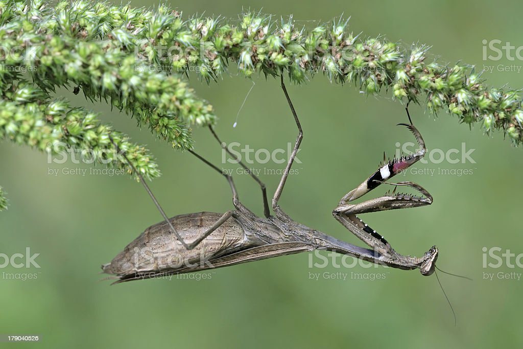 pregnant mantis royalty-free stock photo