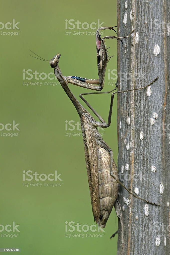 pregnant mantis royalty-free stock photo