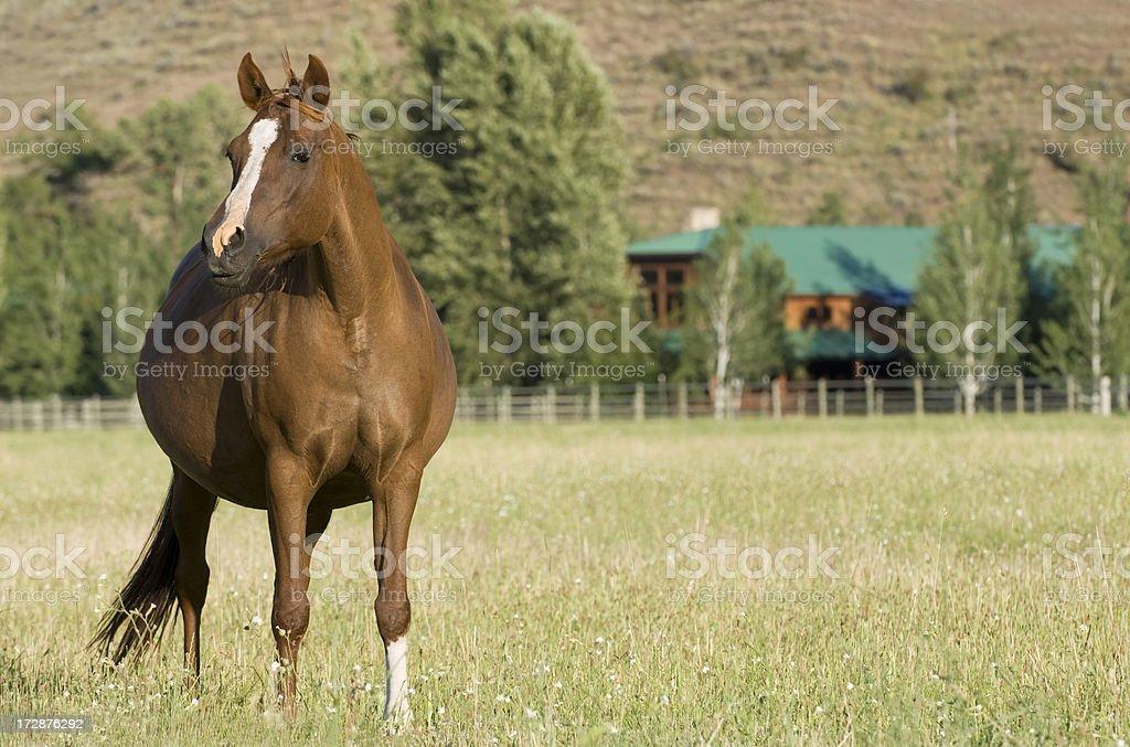 Pregnant Mare stock photo