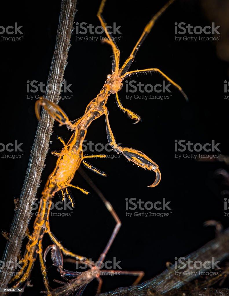 Pregnant orange skeleton shrimp (Caprellidae) stock photo