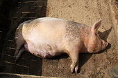 pregnant pig lying on the ground