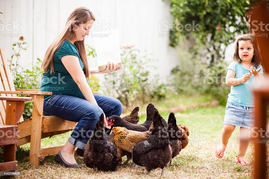 Pregnant Woman Feeding Chickens with her Daughter stock photo