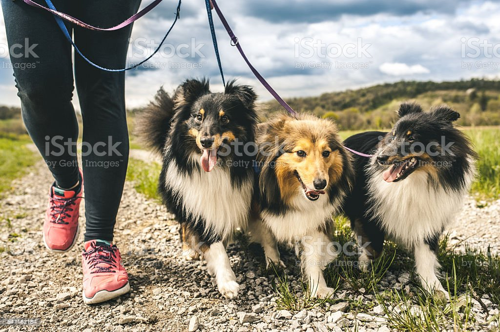 Pregnant woman walking her dogs stock photo