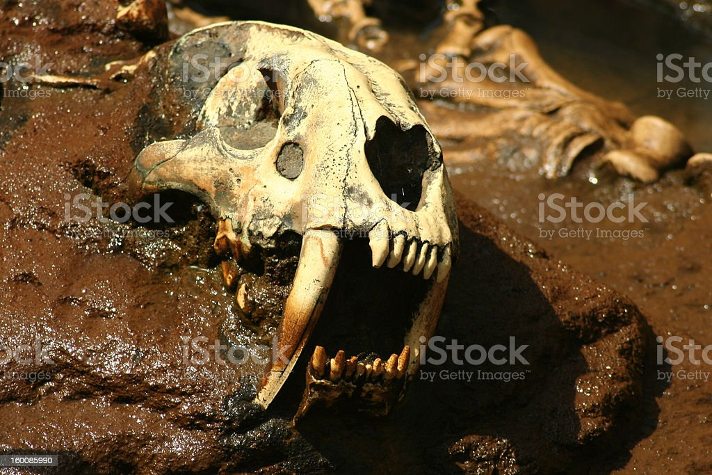 Prehistoric Saber Tooth Bones royalty-free stock photo