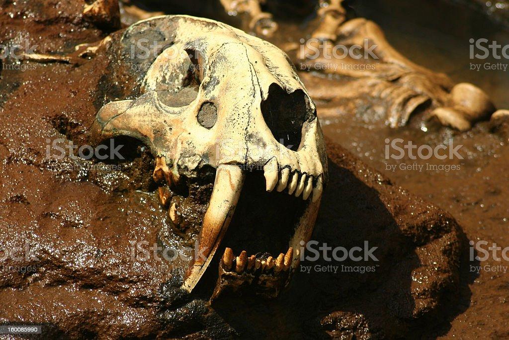 Prehistoric Saber Tooth Bones stock photo