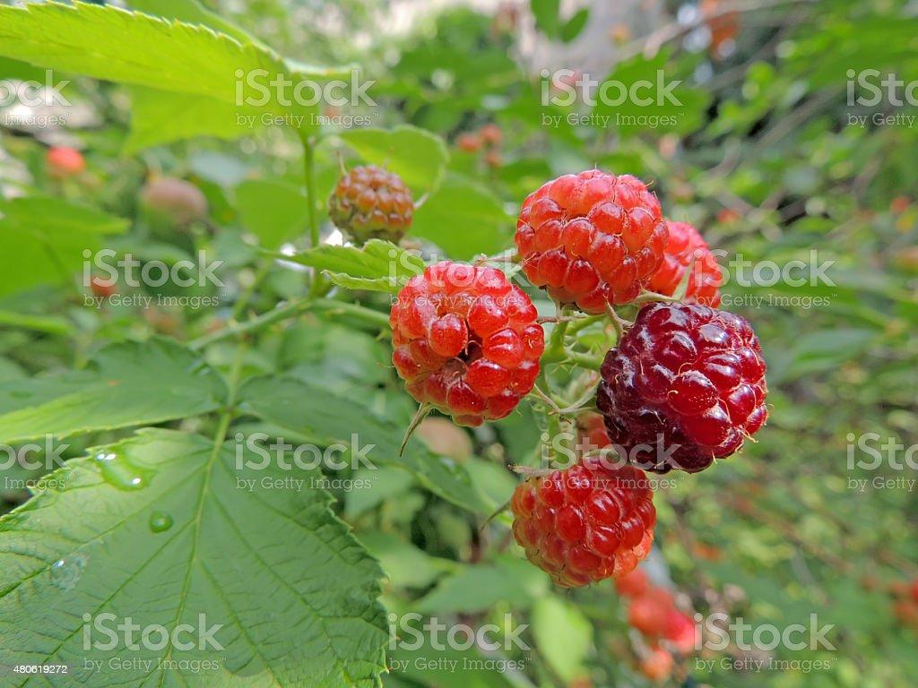 Premature fruit on a raspberry stock photo