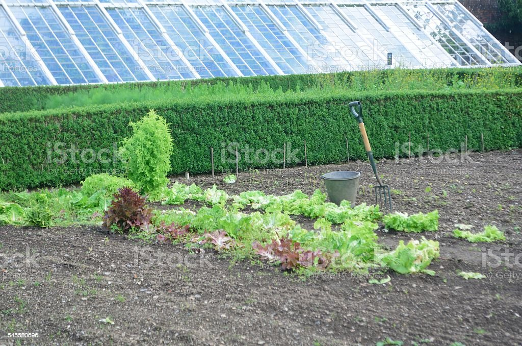 Preparation of large vegetable garden with Lettuce stock photo