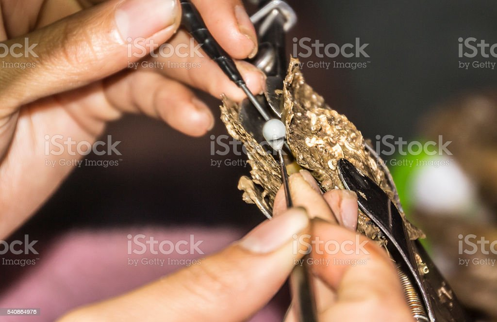 Preparing a pearl to grow stock photo