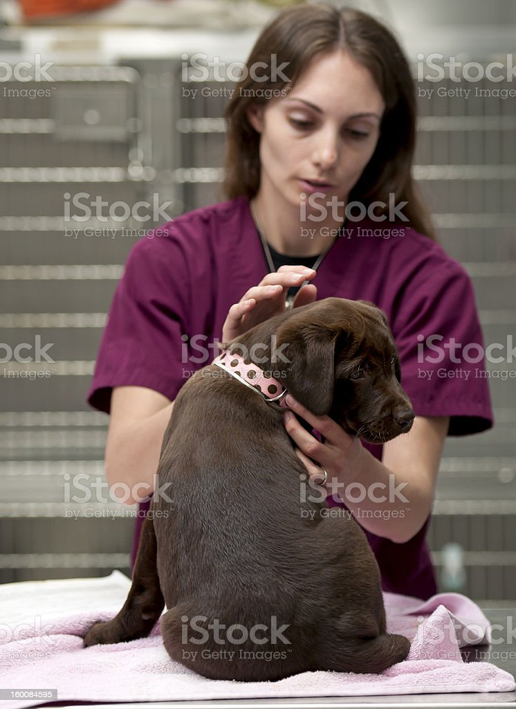 preparing a pet for her first vaccinations stock photo