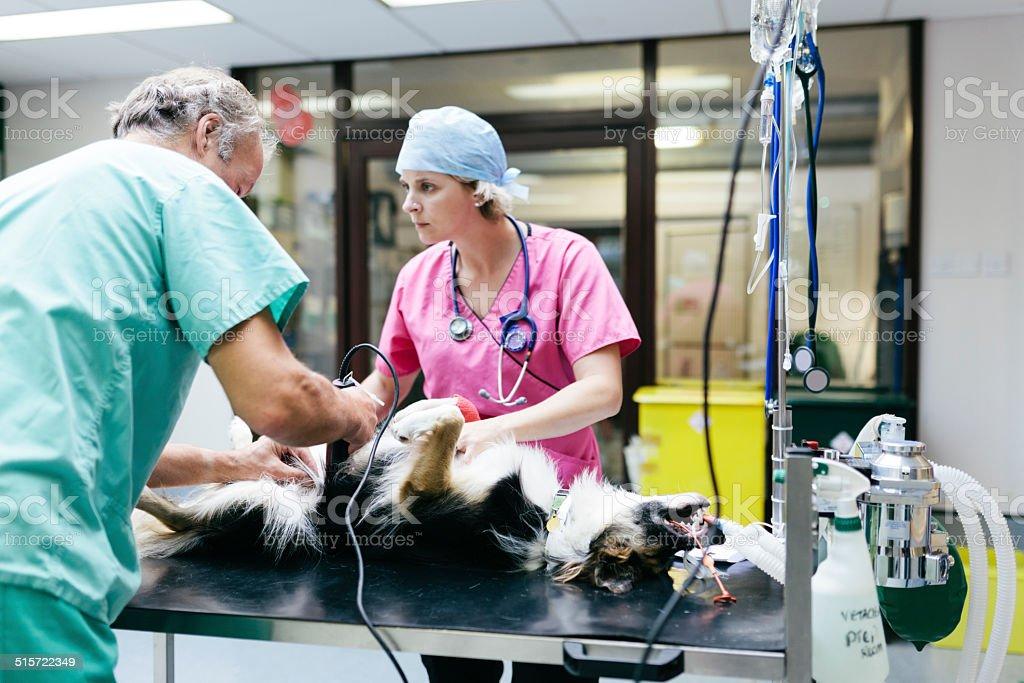 Preparing dog for surgery stock photo