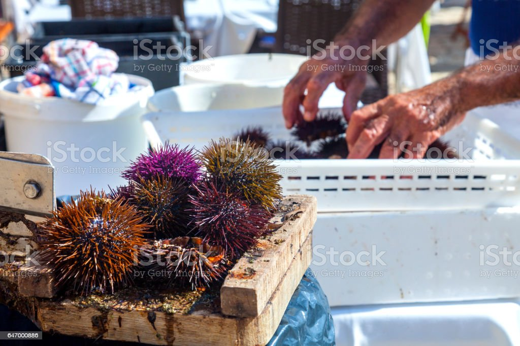 Preparing fresh sea urchins stock photo