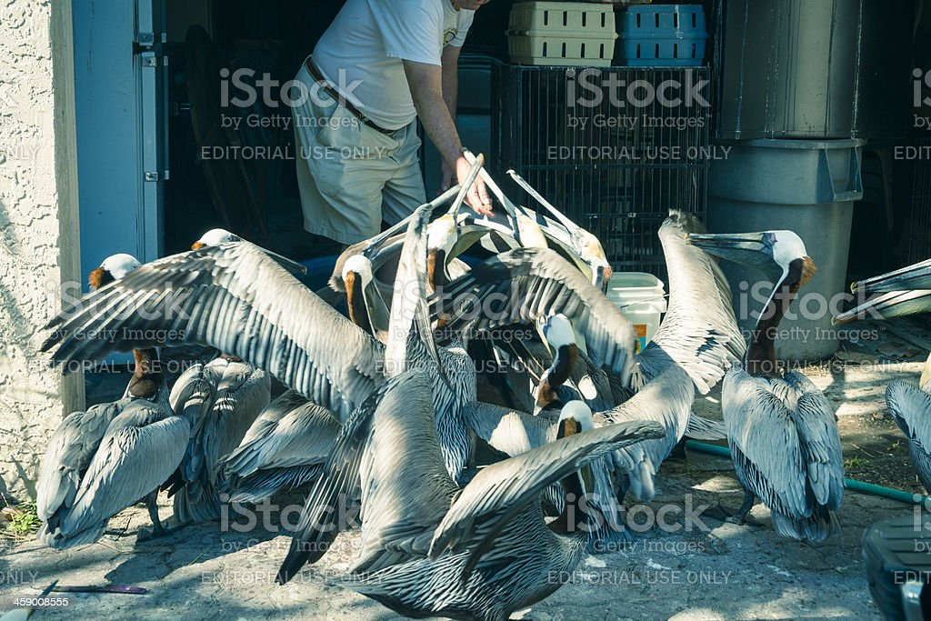 Preparing to help a pelican in the Suncoast Seabird Santuary. royalty-free stock photo