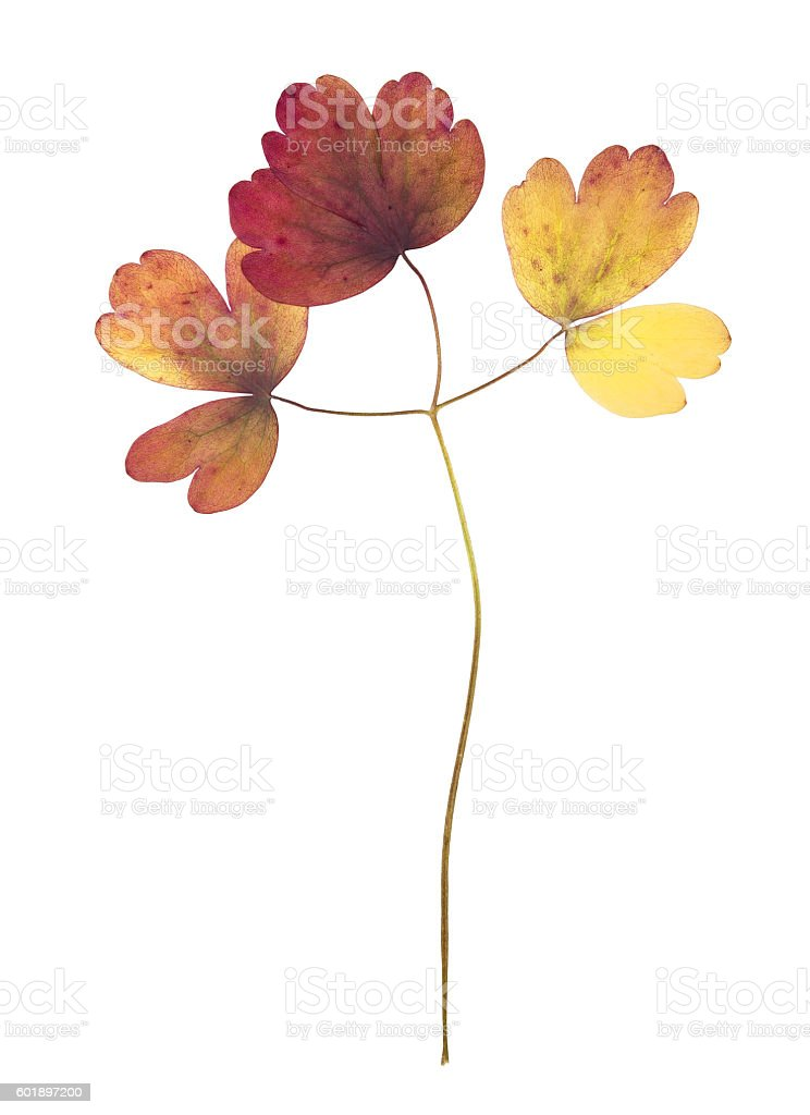 Pressed and dried autumn leaves of aquilegia vulgaris isolated stock photo