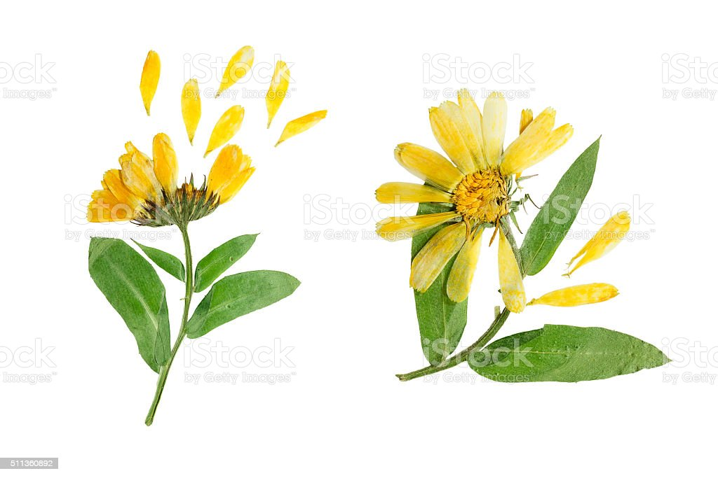Pressed and dried delicate flower of calendula officinalis. stock photo