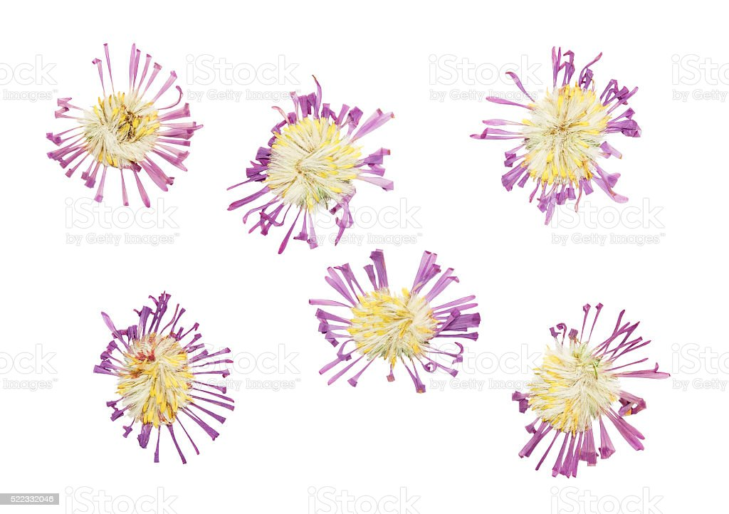 Pressed and dried delicate flower Symphyotrichum novi-belgii . I stock photo