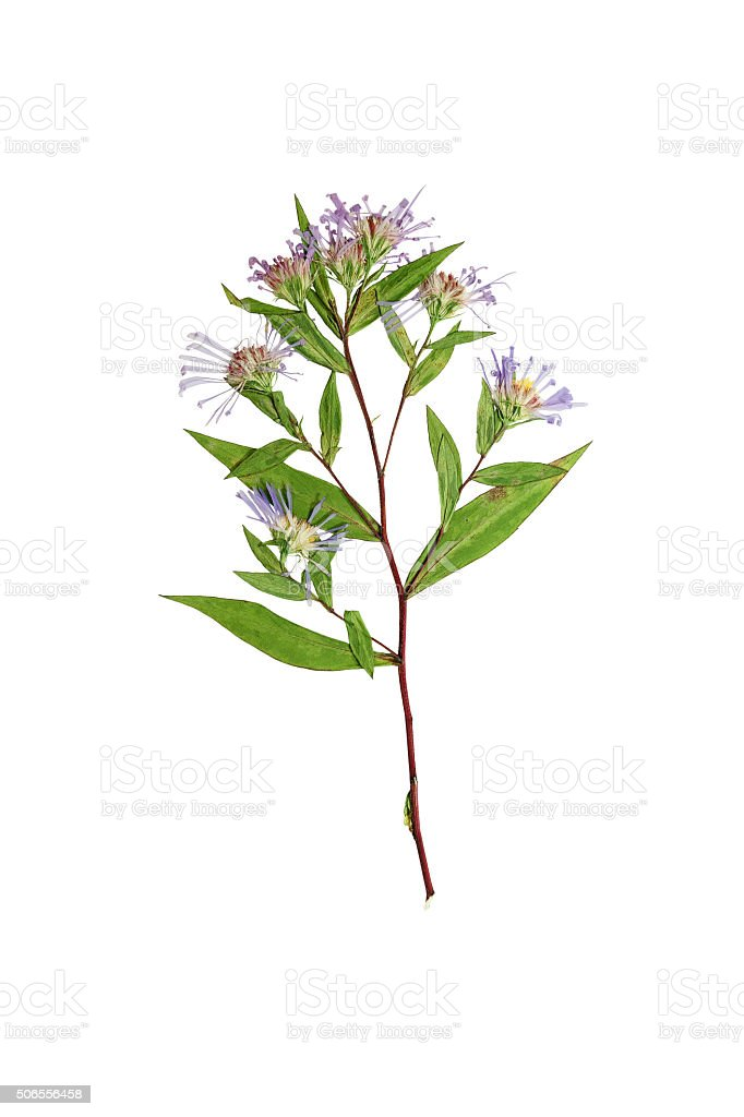 Pressed and dried delicate flower Symphyotrichum novi-belgii stock photo