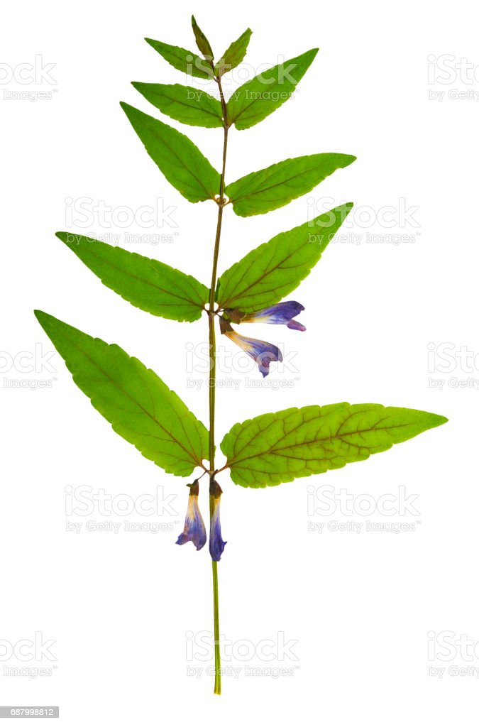 Pressed and dried delicate flowers skullcap, isolated stock photo