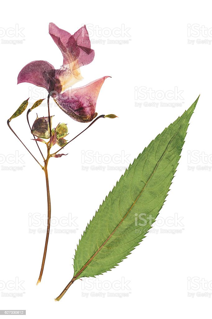 Pressed and dried delicate lilac flowers impatiens glandulifera stock photo