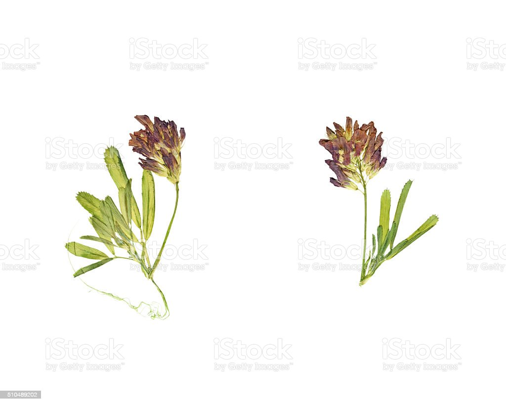 Pressed and dried flower clover or trefoil. stock photo