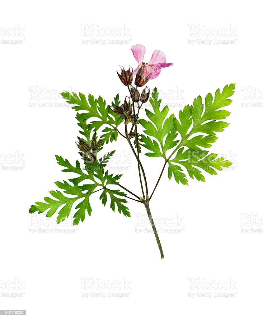Pressed and dried flower geranium on stem with green leaves stock photo