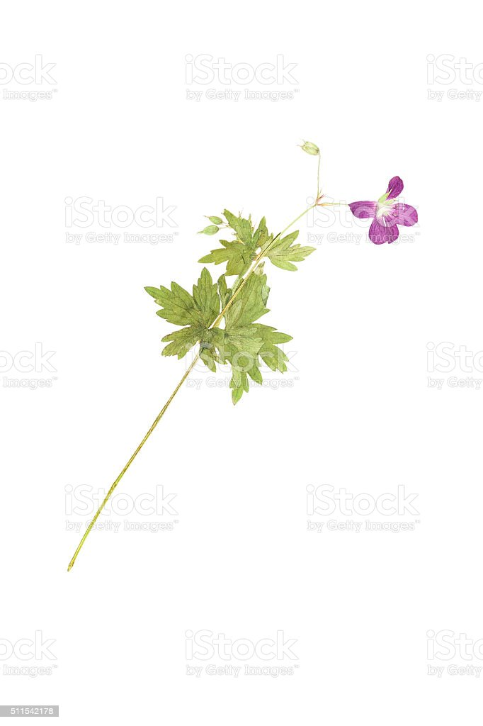 Pressed and dried flower  Geranium pratense. Isolated on white b stock photo