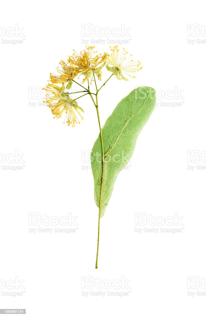 Pressed and Dried flower  Linden Isolated on white background. stock photo