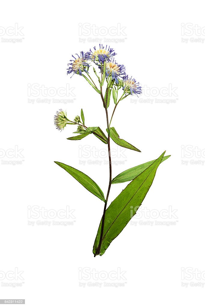 Pressed and dried flower Symphyotrichum novi-belgii stock photo
